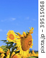ひまわり 向日葵 植物の写真 39515068