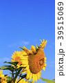 ひまわり 向日葵 植物の写真 39515069