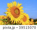 ひまわり 向日葵 植物の写真 39515070