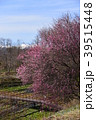 春 山葵田 紅梅の写真 39515448