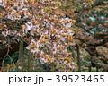 山桜 葉桜 桜の写真 39523465