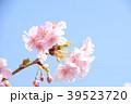桜 河津桜 花の写真 39523720