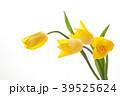 チューリップ 花 植物の写真 39525624