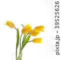 チューリップ 花 植物の写真 39525626