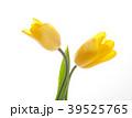 チューリップ 花 植物の写真 39525765