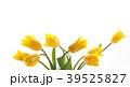 チューリップ 花 植物の写真 39525827