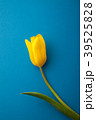 チューリップ 花 植物の写真 39525828