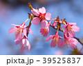 オカメザクラ 桜 花の写真 39525837