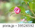 ツバキの花 39526592