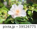 ツバキの花 39526775