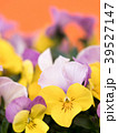ビオラ 花 咲くの写真 39527147