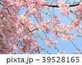 春爛漫 39528165