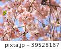 春爛漫 39528167