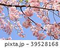 春爛漫 39528168