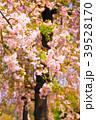春爛漫 39528170