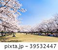 桜 桜並木 花見の写真 39532447