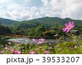 コスモス 花 山の写真 39533207
