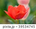 チューリップ 花 植物の写真 39534745