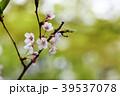 枝 ソメイヨシノ 桜の写真 39537078