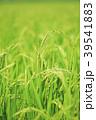 稲穂 実り 米の写真 39541883