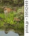 知床 鹿 蝦夷鹿の写真 39542449