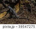 トカゲ 爬虫類 動物の写真 39547275