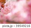 八重桜 花 春の写真 39549216