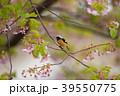 河津桜 桜 葉桜の写真 39550775