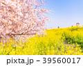 桜 染井吉野 春の写真 39560017