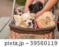 犬用カートに乗るチワワ 39560119