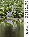 あおさぎ アオサギ 蒼鷺の写真 39562170