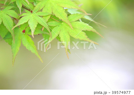 赤い縁取りがある新緑のもみじ葉 39574977