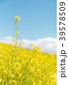春イメージ 菜の花と青空と雲 39578509