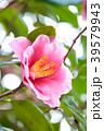 植物 花 椿の写真 39579943