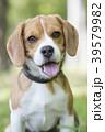 ビーグル犬 39579982