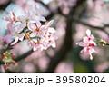 淡水的櫻花 Cherry blossoms in Tamsui Taiwan 台湾淡水の桜 吉野櫻 39580204