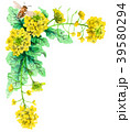 水彩で描いた菜の花の装飾フレーム 39580294