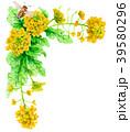 水彩で描いた菜の花の装飾フレーム 39580296