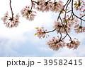 桜 ソメイヨシノ 桜の花の写真 39582415