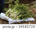 芹 春の七草 植物の写真 39583720