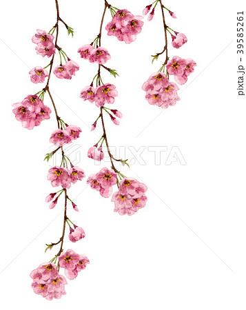 水彩で描いた枝垂れ桜 39585261