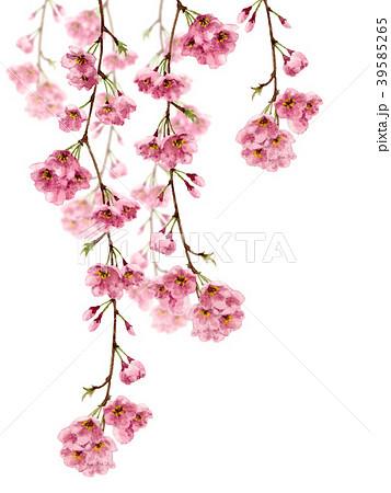 水彩で描いた枝垂れ桜 39585265