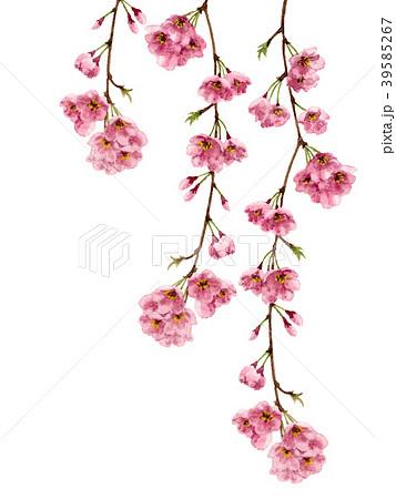 水彩で描いた枝垂れ桜 39585267