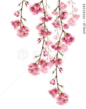 水彩で描いた枝垂れ桜 39585269