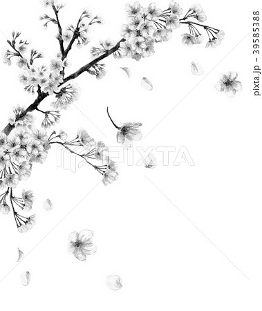 水彩で描いた桜のフレーム素材モノトーン 39585388