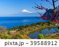 《静岡県》花桃咲く西伊豆井田 海越しの富士山 39588912