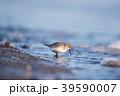 冬の波打ち際を歩くハマシギ(北海道・野付半島) 39590007