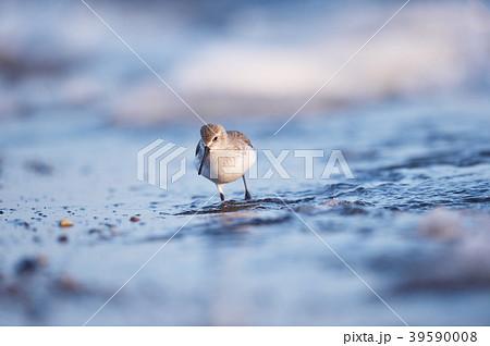 冬の波打ち際を歩くハマシギ(北海道・野付半島) 39590008