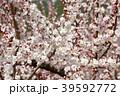 あんずの花 39592772