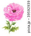 ラナンキュラス 水彩 ピンクのイラスト 39592939